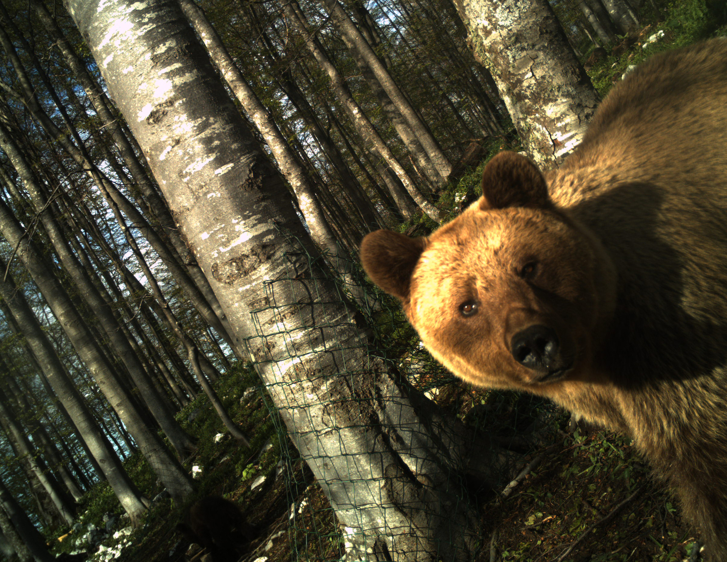 Brown Bear – Story About Saving the Nature